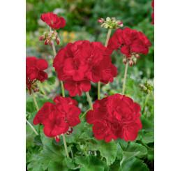 Pelargonium zonale ´Anthony´ / Muškát vzpřímený červený, bal. 3 ks, 3xK7