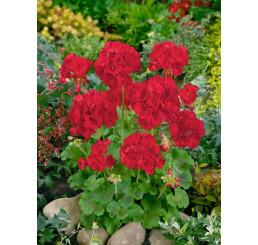 Pelargonium zonale ´Anthony´ / Muškát vzpřímený červený, bal. 6 ks sadbovač.