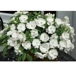 Impatiens ´New Guinea White´ / Netýkavka bílá, bal. 6 ks sadbovačů