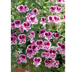 Pelargonium grandiflorum ´pac®Aristo® Candy´ / Muškát velkokvětý, K7