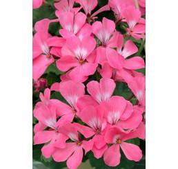 Pelargonium pelt.x zonale ´Caliente® Pink´ / Muškát převislý, bal. 6 ks, 6x K7