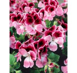 Pelargonium grandiflorum ´pac®Aristo® Darling´ / Muškát velkokvětý, bal. 6 ks sadbovačů