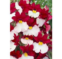 Nemesia ´Sunsatia® plus Cherry on Ice´ / Nemesia, bal. 6 ks, 6x K7