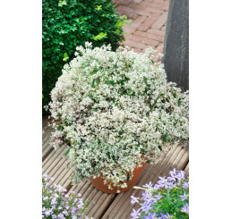 Euphorbia hypericifolia ´pac®Mont Blanc´ / Pryšec třezalkovolistý, K7