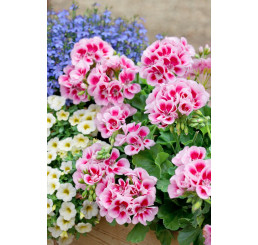 Pelargonium zonale ´pac®Flower Fairy® White Splash´ / Muškát kroužkovaný, K7
