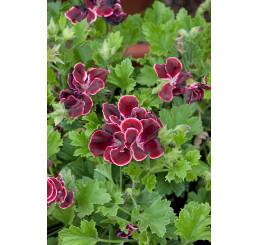 Pelargonium grandiflorum ´Aristo Beauty´ / Pelargonie velkokvětá červená, K7