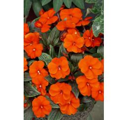 Impatiens ´New Guinea Orange´ / Netýkavka oranžová, bal. 6 ks sadbovač.