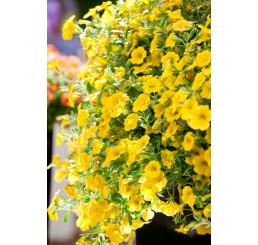 Calibrachoa ´Celebration® Banana´ / Mnohokvěté petunie, bal. 6 ks sadbovačů