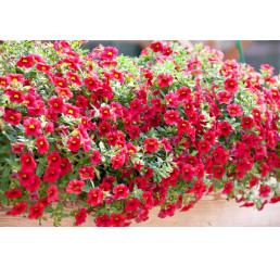 Calibrachoa ´Celebration® Granada Red´ / Mnohokvěté petunie, bal. 6 ks sadbovačů