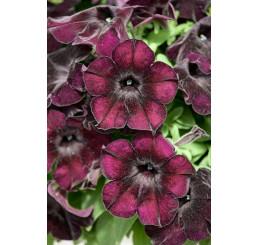 Petunia ´Crazytunia® Black Mamba´ / Petunie, bal. 6 ks, 6x K7