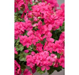 Pelargonium pelt. ´pac®Happy Face ® Purple´ / Muškát, bal. 6 ks, 6x K7