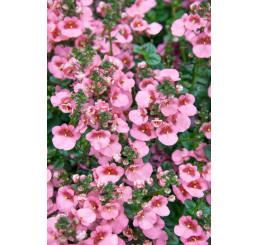 Diascia ´Elfjes® Rose XXL´ / Ostruhatka, bal. 3 ks, 3x K7