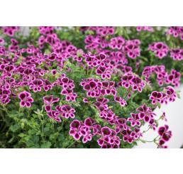 Pelargonium crispum ´pac® Angeleyes® Blueberry´ / Muškát anglický, bal. 6 ks sadbovačů
