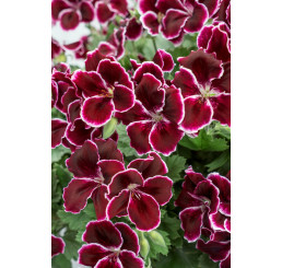Pelargonium grandiflorum ´pac®Aristo® Black Beauty´  / Muškát velkokvětý, bal. 3 ks, 3x K7