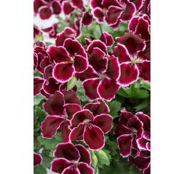 Pelargonium grandiflorum ´pac®Aristo® Black Beauty´ / Muškát velkokvětý, bal. 6 ks sadbovačů