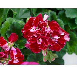 Pelargonium zonale ´pac®Spanish Wine® Burgundy´ / Muškát kroužkovaný, bal. 6 ks sadbovačů
