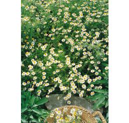 Matricaria recutitta ´Bohemia´ / ´ZLOTY LAN´ náhr. odr. / Heřmánek, bal. 0,7 g