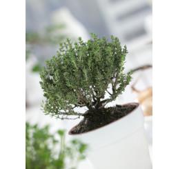Thymus vulgaris ´Faustini´ / Mateřídouška obecná, K7