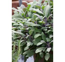 Salvia officinalis ´Purpurascens´ / Šalvěj lékařská , K9