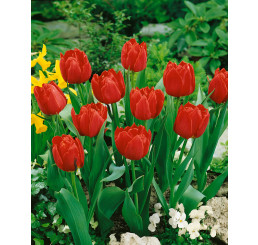Tulipa ´Abba´ / Tulipán, bal. 5 ks, 11/12