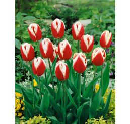 Tulipa ´Leen v.d. Mark´ / Tulipán, bal. 5 ks, 11/12
