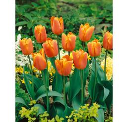Tulipa ´Jimmy´ / Tulipán, bal. 5 ks, 11/12