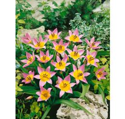 Tulipa ´Saxatilis´ / Tulipán, bal. 5 ks, 7/8