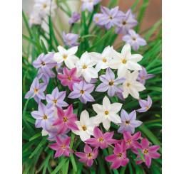 Ipheion Uniflorum (Triteleia uniflora) / Triteleje mix, bal. 15 ks, I.