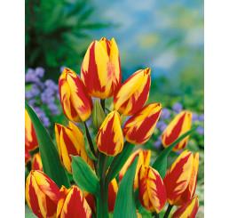 Tulipa ´Color Spectacle´ / Tulipán, bal. 5 ks, 11/12