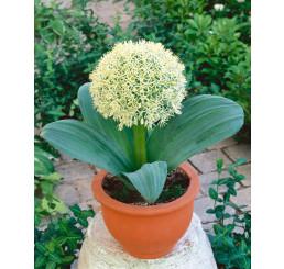 Allium Karataviense / Česnek karatavský, bal. 3 ks, 10/12+