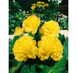 Begonia fimbriata ´Yellow´ / Begónie roztřepená žlutá, bal. 3 ks, 5/+