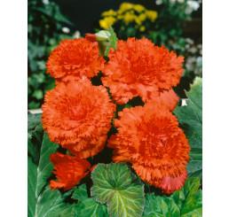 Begonia fimbriata ´Orange´ / Begónie roztřepená oranžová, bal. 3 ks, 5/+