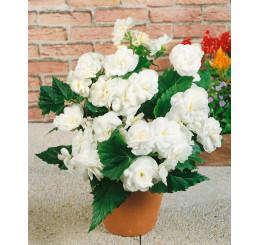 Begonia double ´White´ / Begónie velkokvětá bílá, bal. 3 ks, 5/+