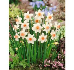 Narcis ´Bell Song´, bal. 5 ks, 12/+
