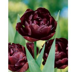 Tulipa ´Black Hero´ / Tulipán, bal. 5 ks, 12/+