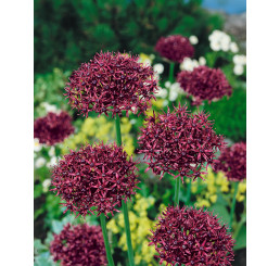 Allium ´Atropurpureum´ / Okrasný česnek tmavopurpurový, bal. 3 ks, 10/12