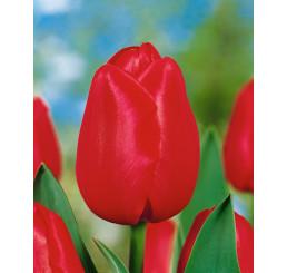 Tulipa ´Hollandia´ / Tulipán, bal. 5 ks, 11/12