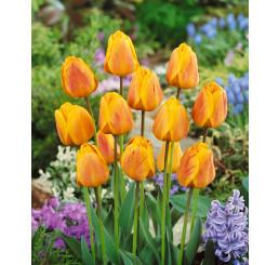 Tulipa ´Beauty of Apeldoorn´ / Tulipán, bal. 5 ks, 11/12