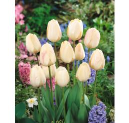 Tulipa ´Ivory Floradale´ / Tulipán, bal. 5 ks, 11/12