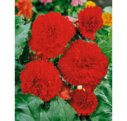 Begonia fimbriata ´Red´ / Begónie roztřepené červená, bal. 3 ks, 5/+