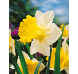 Narcis ´Las Vegas´, bal. 5 ks, 12/14