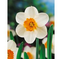 Narcis ´Barrett Browning´, bal. 5 ks, 12/14