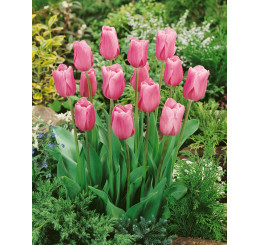 Tulipa ´Mistress´ / Tulipán, bal. 5 ks, 11/12