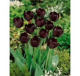 Tulipa ´Queen of Night´ / Tulipán ´Královna noci´, bal. 5 ks, 11/12