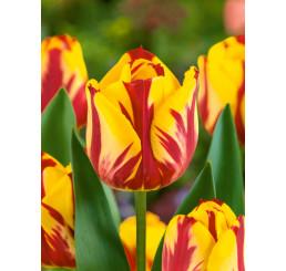 Tulipa ´Helmar´ / Tulipán, bal. 5 ks, 11/12