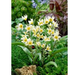 Tulipa ´Turkestanika´ / Tulipán, bal. 5 ks, 6/7