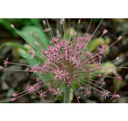 Allium ´Schubertii´ / Okrasný česnek, 12/+