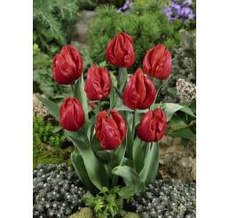 Tulipa ´Red Hunter´ / Tulipán, bal. 5 ks, 6/+