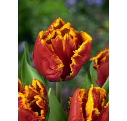 Tulipa ´Bright Parrot´ / Tulipán, bal. 5 ks, 11/12