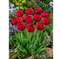 Tulipa ´Red Wing´ / Tulipán, bal. 5 ks, 11/12